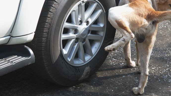 Hund pinkelt ans Auto