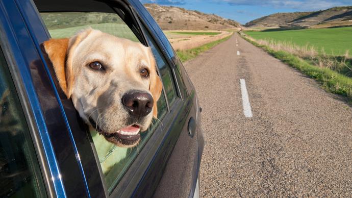 Hund steckt Kopf durch Autofenster