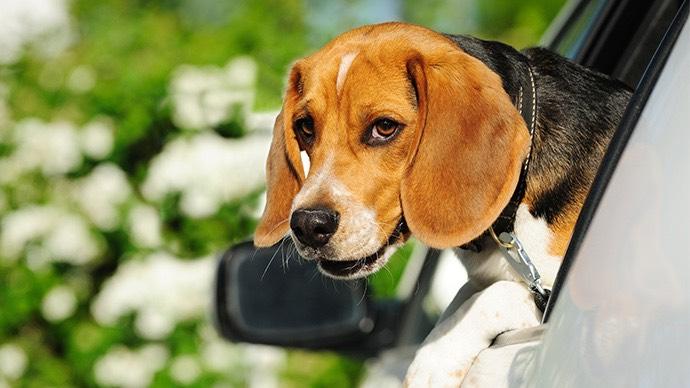 Beagle schaut aus Autofenster
